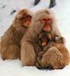 Japanesesnowmonkeys